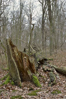 Hambacher Forst, an old natural forest, a popular symbol in the fight fight against global warming