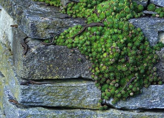 European wall lizard, wall lizard