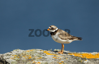 Common Ringed Plover standing on a rock