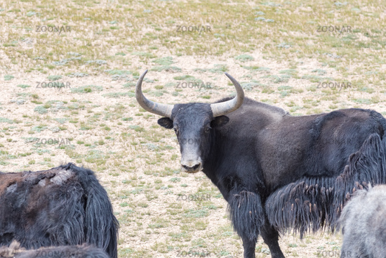 wild yak in qinghai nature reserve