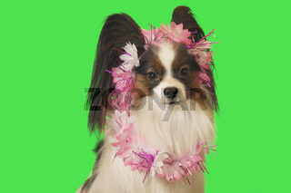 Beautiful dog Papillon in garland of flowers on green background
