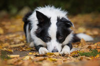 Young border collie dog lying in autumn leaves