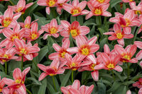 Lilies are known to be the May birth flower, and the 30th wedding anniversary flower.