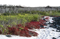Cost vegetation with Galapagos carpetweed, Floreana  Island, Galapagos Islands, Ecuador