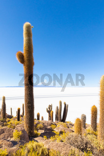 Bolivia Uyuni Incahuasi island group of cactus and volcano view