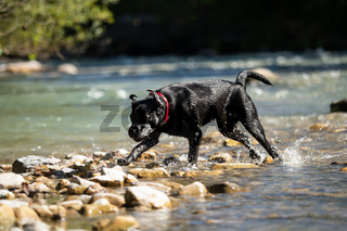 A black labrador outside by the water
