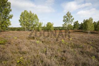 Bluehende Heidelandschaft