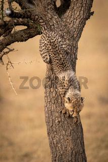 Cheetah cub climbs down thorn tree trunk