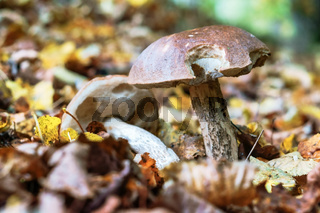 edible mushrooms on the ground, two boletus in the grass