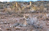 Cheetah, Kgalagadi Transfrontier National Park, South Africa, (Acinonyx jubatus)