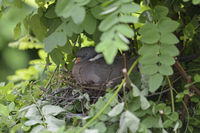 Wood Pigeon * Columba palumbus * nesting, hidden in a tree