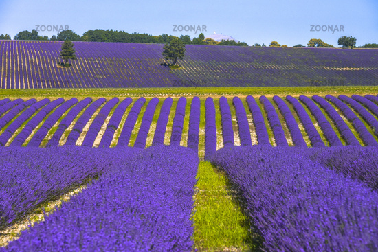 hills landscape with lavender field and trees