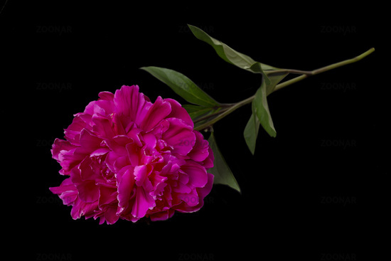 Red peony lying on a black background