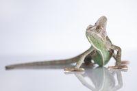 Green chameleon,lizard on white background