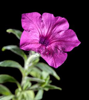 Petunia stem on black near cut