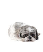 Small Havanese dog laying on White Backdrop looking sad