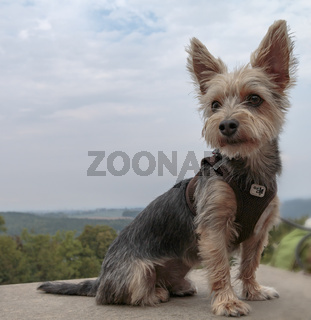Yorkshire Terrier, sitzend, mit Ausblick