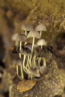 Mushroom, Trishna, Tripura , India