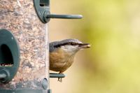 eurasian nuthatch feeding