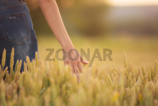 Female hand touching a golden wheat ear in the wheat field, sunset light, flare light.
