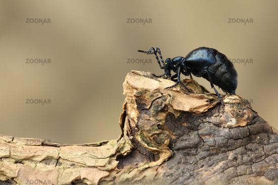 Black oil beetle (Meloe proscarabaeus)