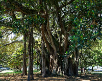 A Banyan tree called Albert, Devonport, New Zealand.