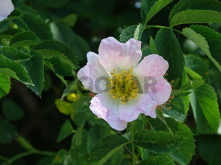 Beautiful pink dog rose blossom in the sun