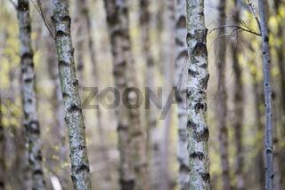 Wald aus Birken mit vielen Stämmen