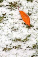 Cherry leaf lies on the white snow . Winter background.