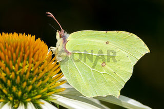 Brimstone butterfly on a echinacea flower blossom