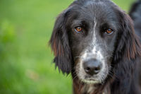 Portrait of a black english setter mix with a white snout looking into the camera.
