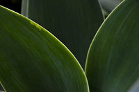 Dark green leaves in backlight