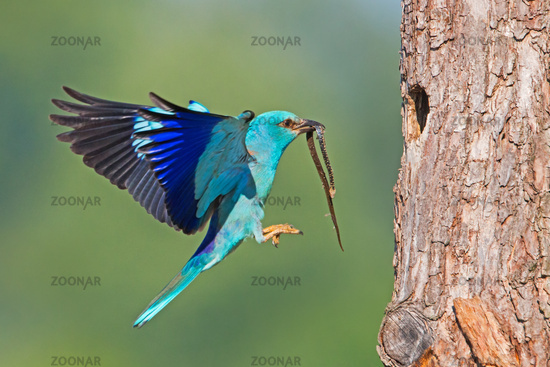 European roller landing on bark of tree with snake in the beak with copyspace.
