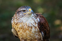 Ferruginous hawk or Butea regalis in side angle view.
