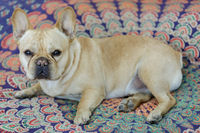 Young male Frenchie lying down in bed.