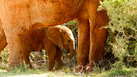 Baby elephant standing under his mom