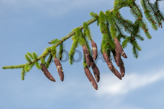 resinous pine cones on slim branch