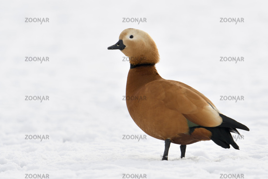 Ruddy Shelduck * Tadorna ferruginea * in winter, resting on snow covered farmland, invasive species