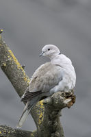 Eurasian Collared Dove * Streptopelia decaocto * perched in a tree, watching around