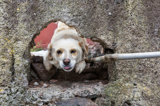 Curious dog watching through a hole in a wall