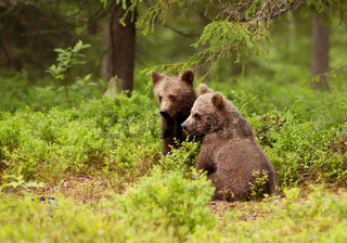 Two European brown bear cubs in boreal forest, Finland.