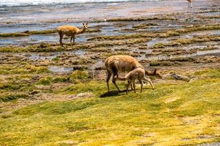 Adult Vicunas and baby grazing at the shore of Canapa lake