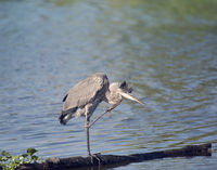 Young great blue heron