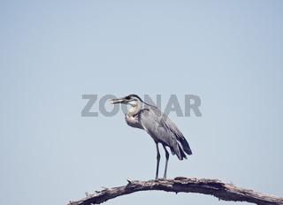 Great Blue Heron perching in Florida wetlands
