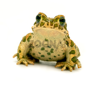 spotted toad sitting close-up