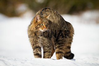 European wildcat with fluffy coat guarding in winter snow