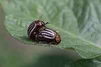 Ten striped potato beetle