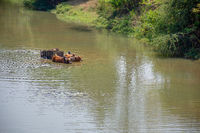Two Zebu humped cattle pull wooden wheeled cart through a deep river crossing.
