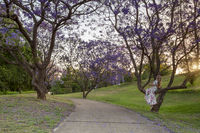 Female looking up at the Jacaranda trees blooming in vibrant purple