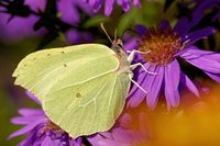 common brimstone on an aster in autumn